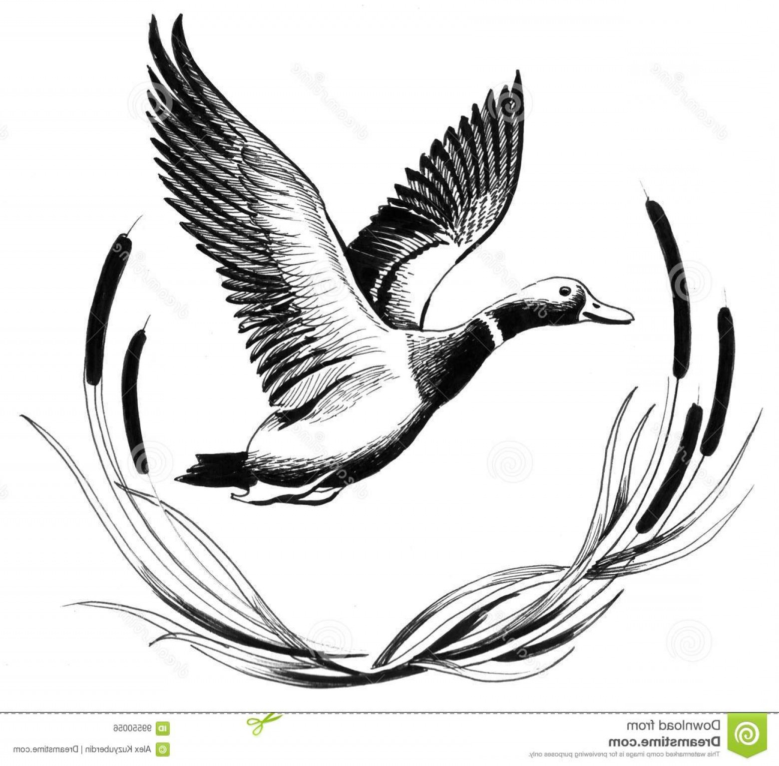 Flying Duck Outline Vector: Stock Illustration Flying Duck Ink Drawing Image