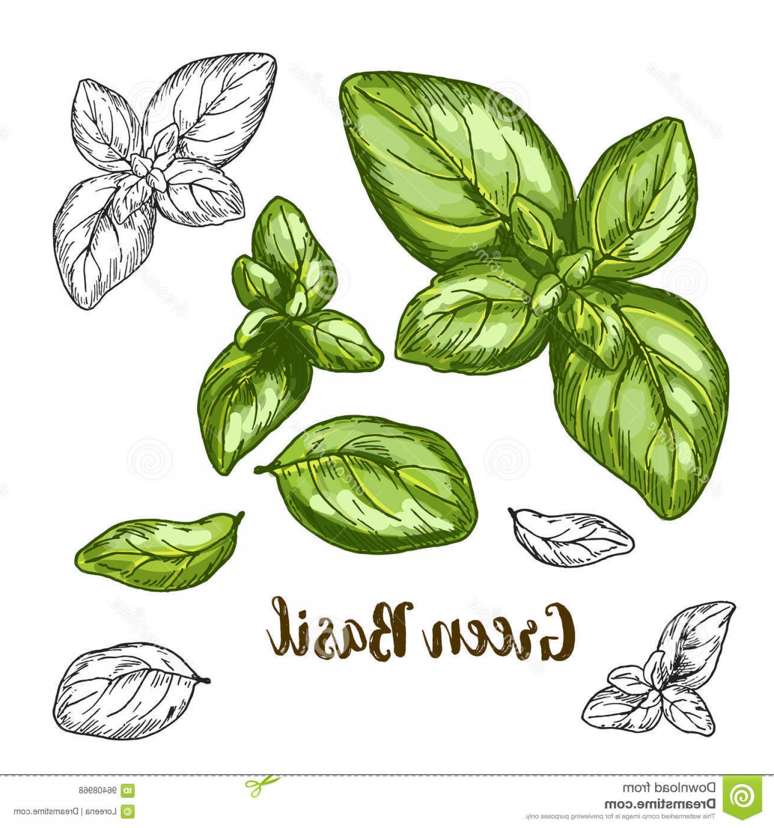 Basil Vector: Stock Illustration Full Color Realistic Sketch Illustration Green Basil Vector Image