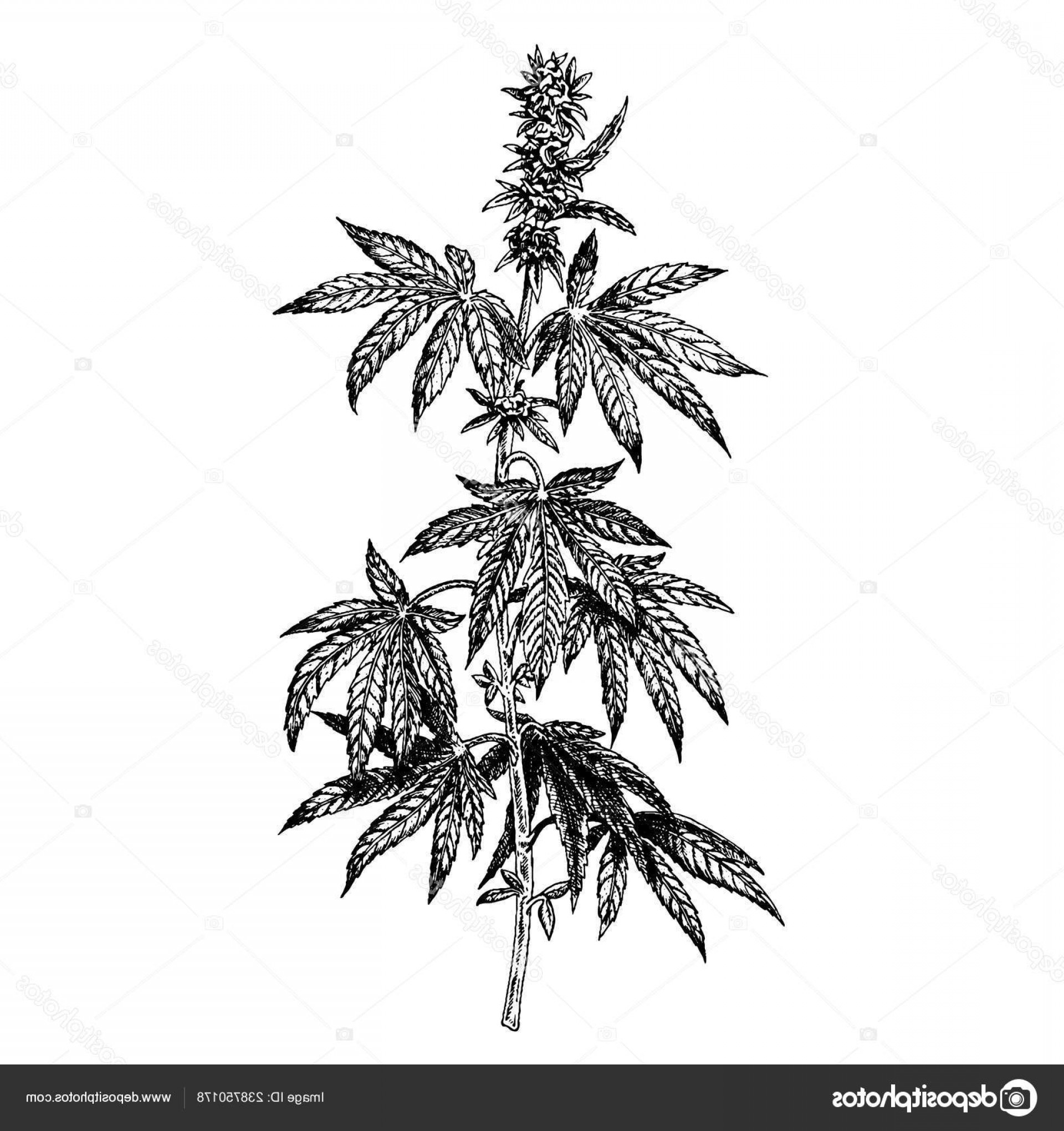 Black And White Vector Image Of Weed Plants: Stock Illustration Hand Drawn Hemp Plant With
