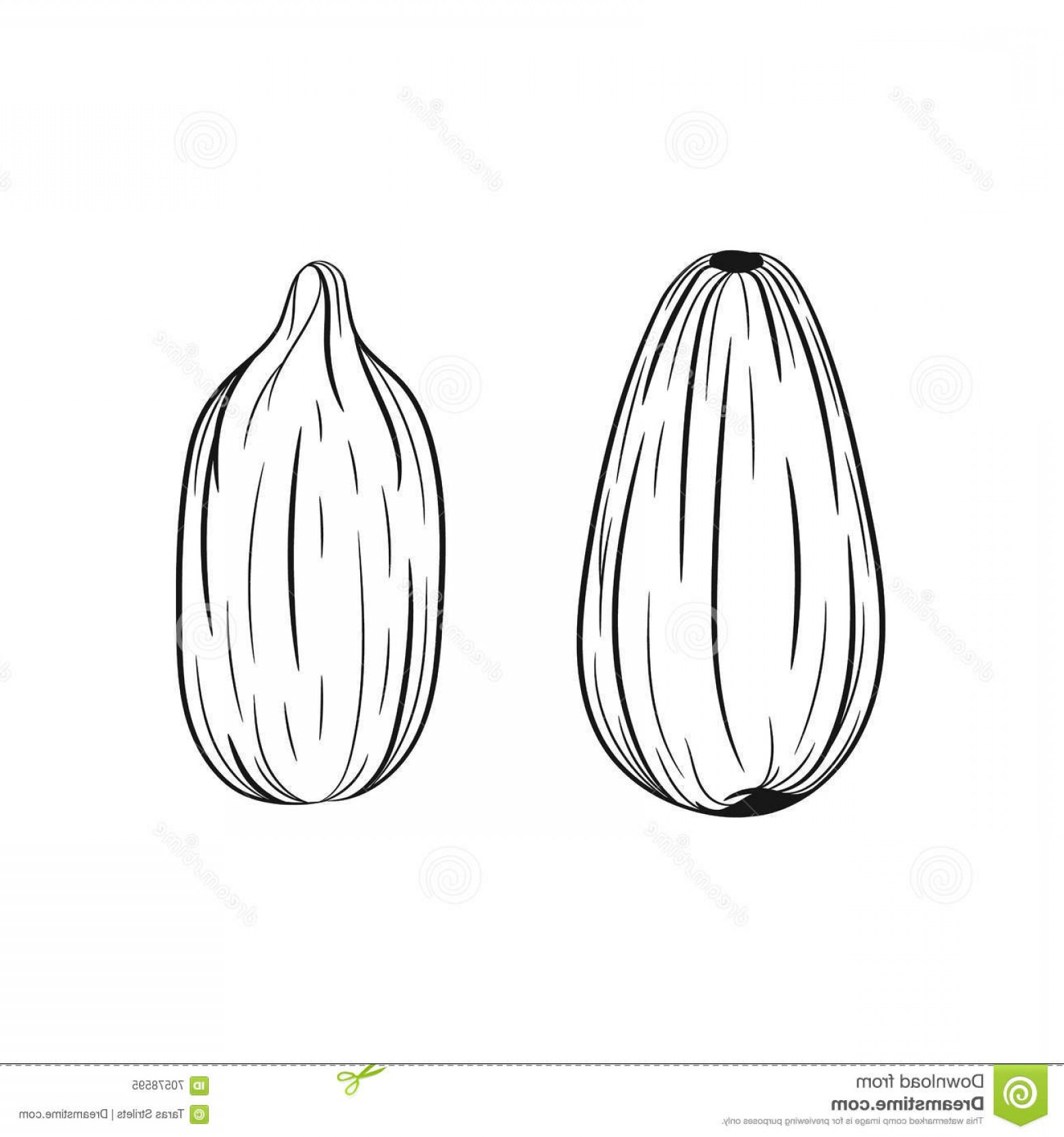 Vector Black And White Sunflower Seed: Stock Illustration Hand Drawn Sunflower Seeds Sketches Vector Illustration Isolated White Background Stock Vector Image