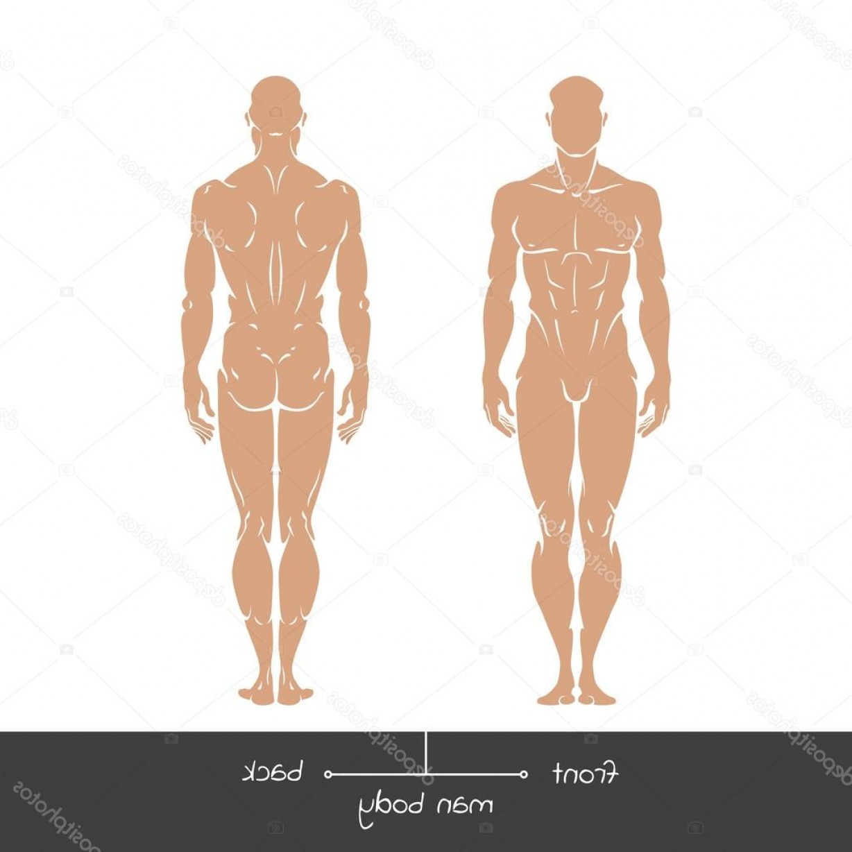 Male Human Vector: Stock Illustration Healthy Man From Front And
