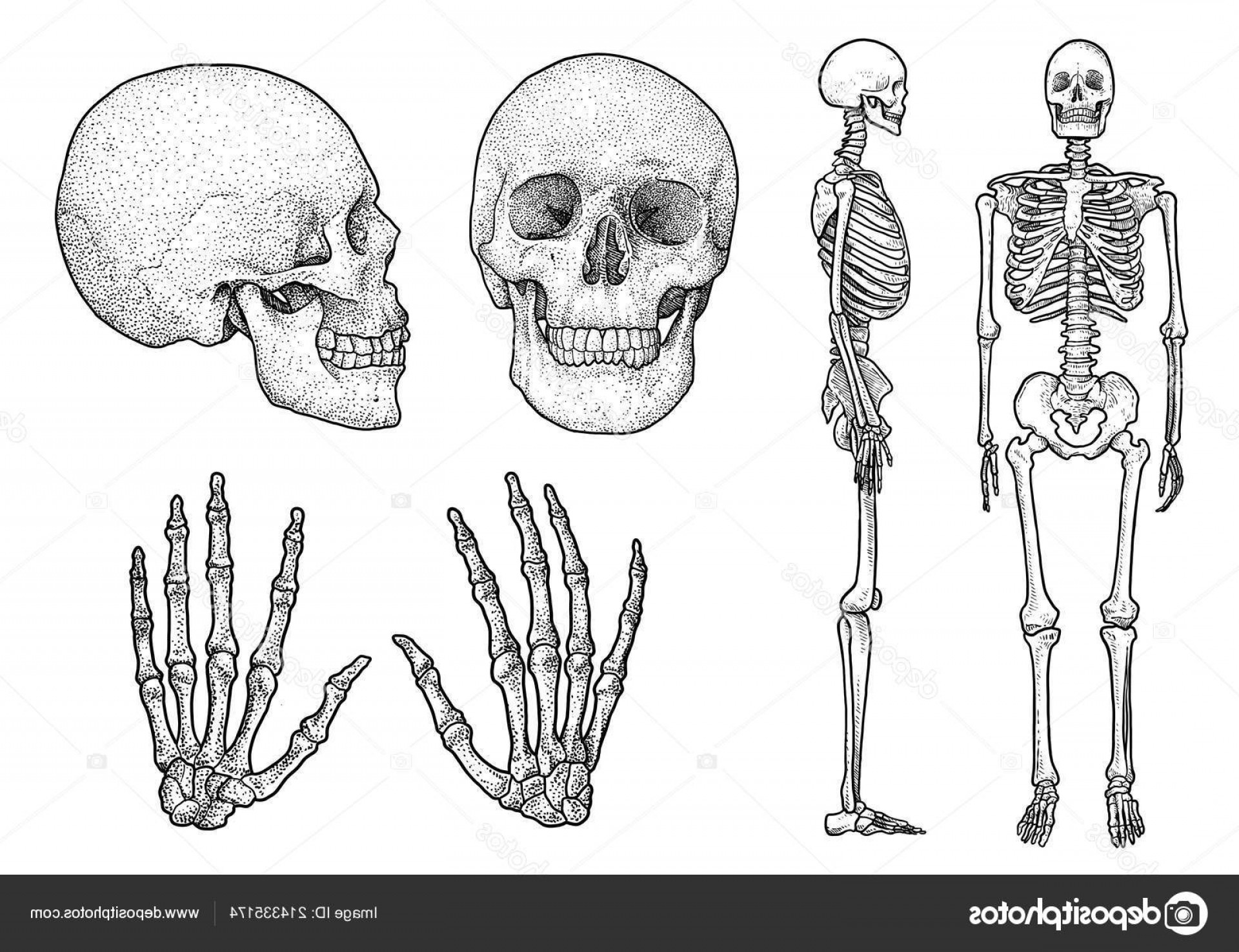 Line Art Human Body Skeleton Labeled Bones Of The Vector: Stock Illustration Human Skeleton Collection Illustration Drawing