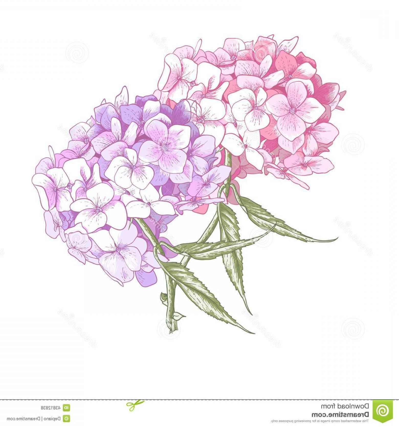 Hydrangea Vector Graphics: Stock Illustration Hydrangea Vintage Botanicalillustration Beautiful Pink Botanical Vector Illustration White Background Image