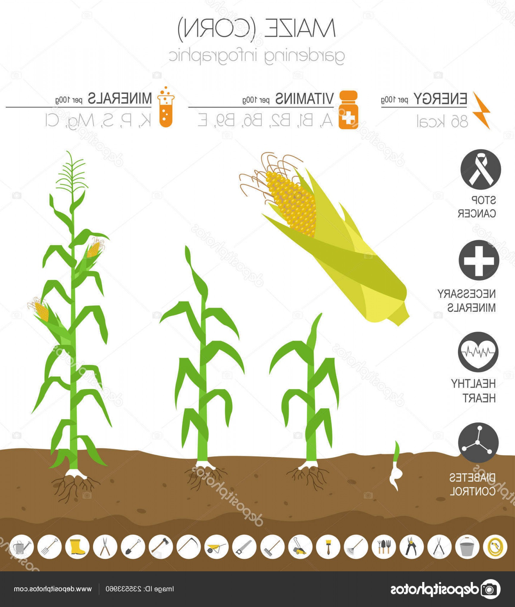Maize Vector Tree: Stock Illustration Maize Corn Beneficial Features Graphic