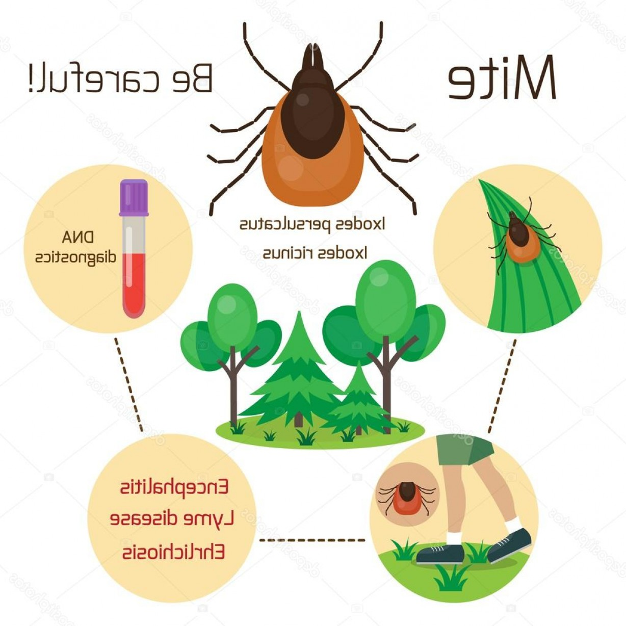 Vector -Borne Infection: Stock Illustration Mite Human Skin Parasite Mite