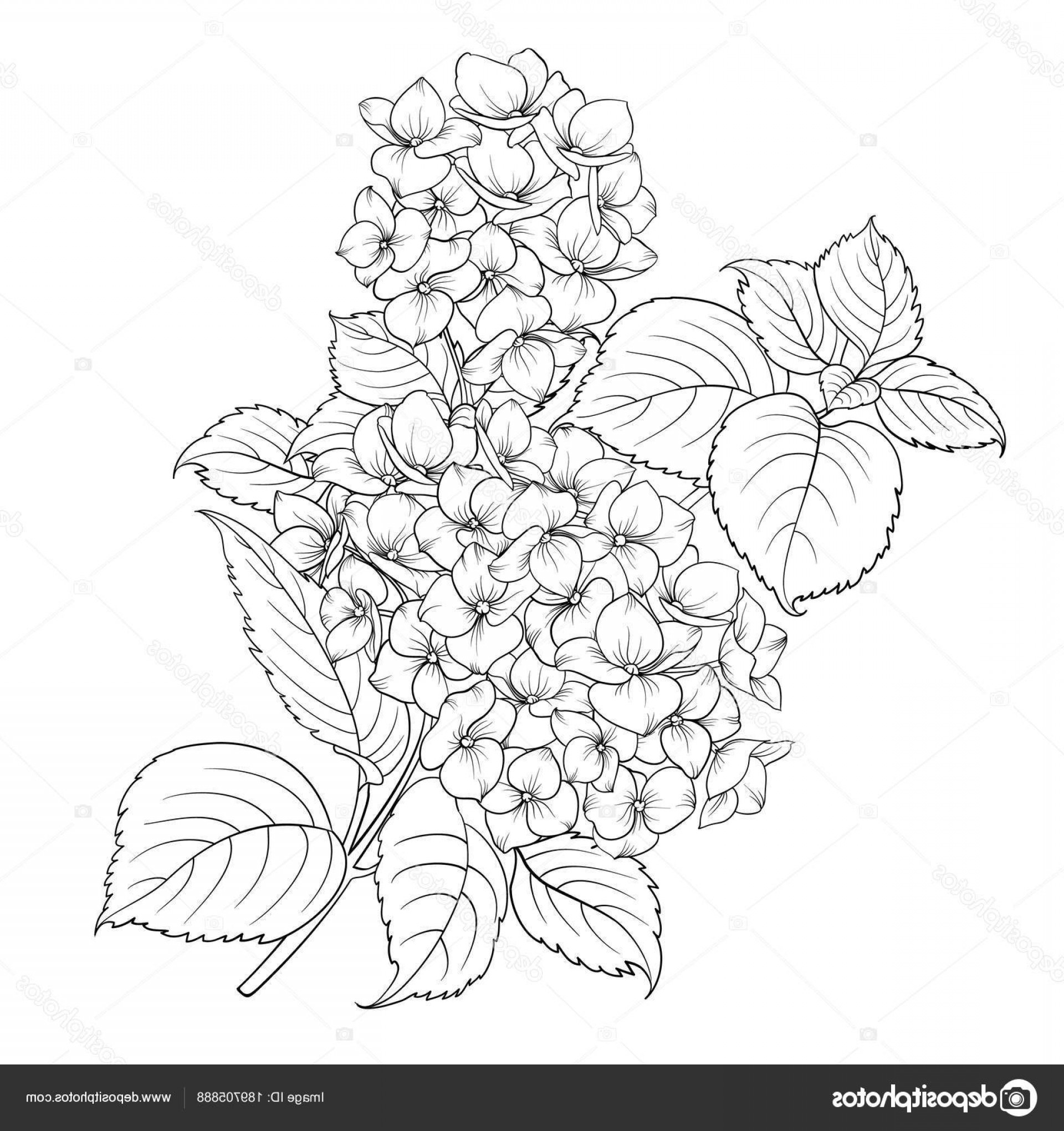 Vector Mop Flower: Stock Illustration Mop Head Of Hydrangea Flower