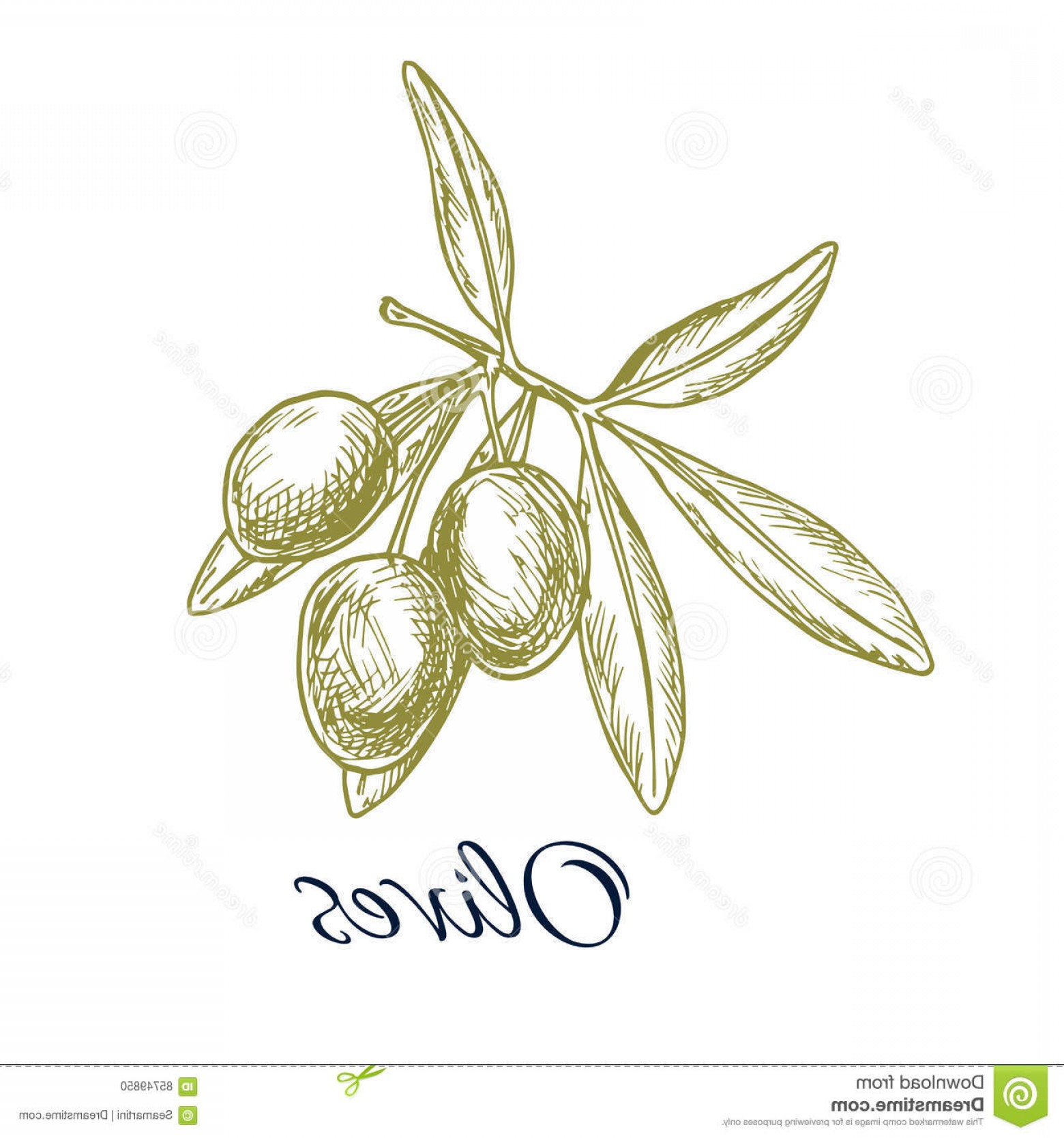 Olive Vector: Stock Illustration Olive Branch Green Olives Vector Sketch Icon Isolated Design Oil Label Healthy Vegetarian Vegan Vegetable Food Image