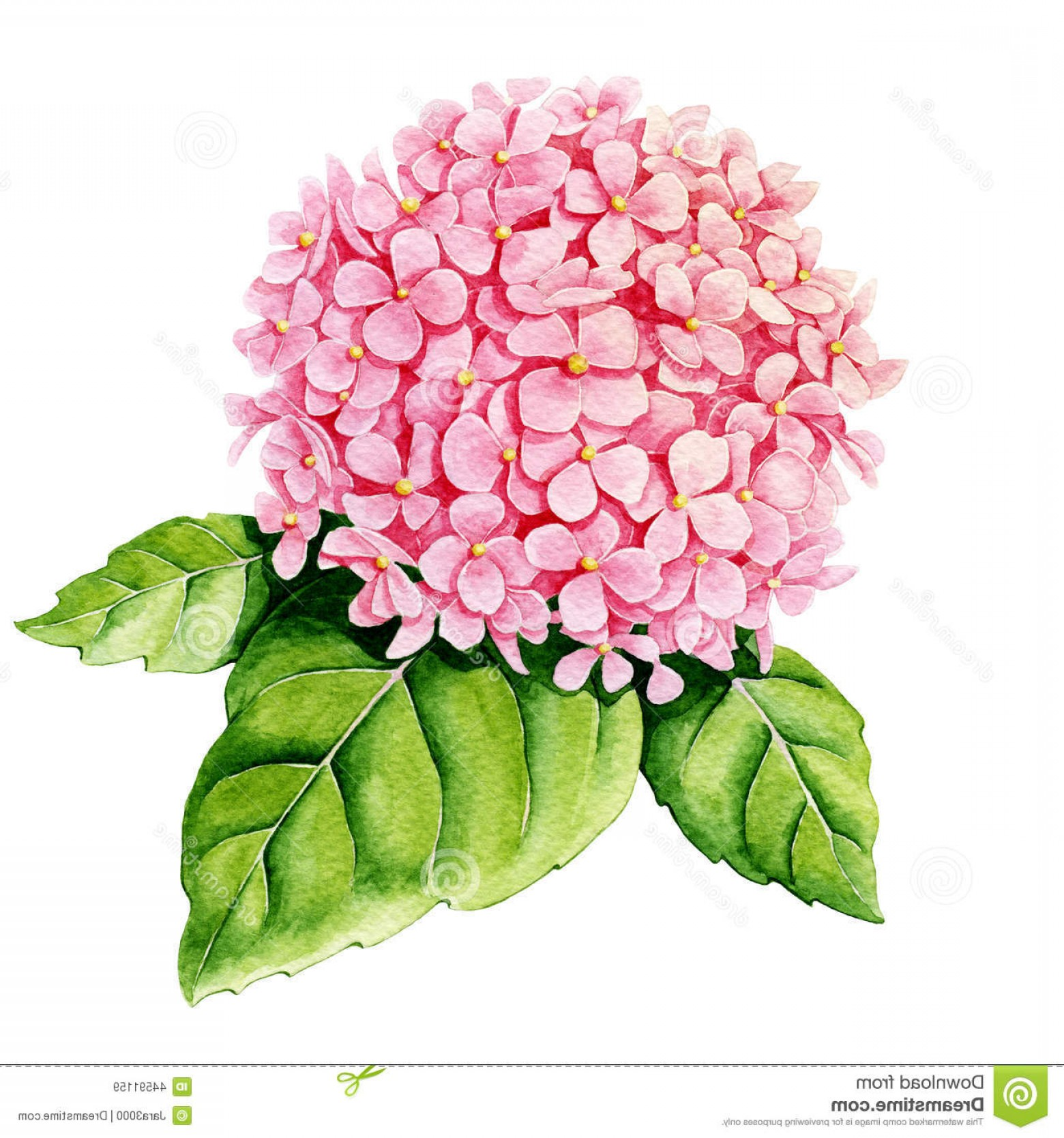 Hydrangea Vector Graphics: Stock Illustration Pink Hydrangea Watercolor White Background Image