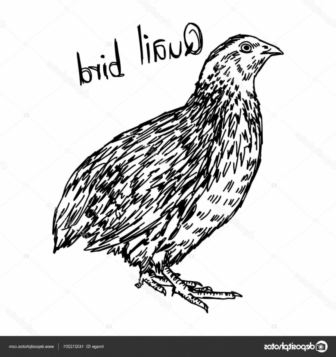 Quail Vector Art: Stock Illustration Quail Vector Illustration Sketch Hand