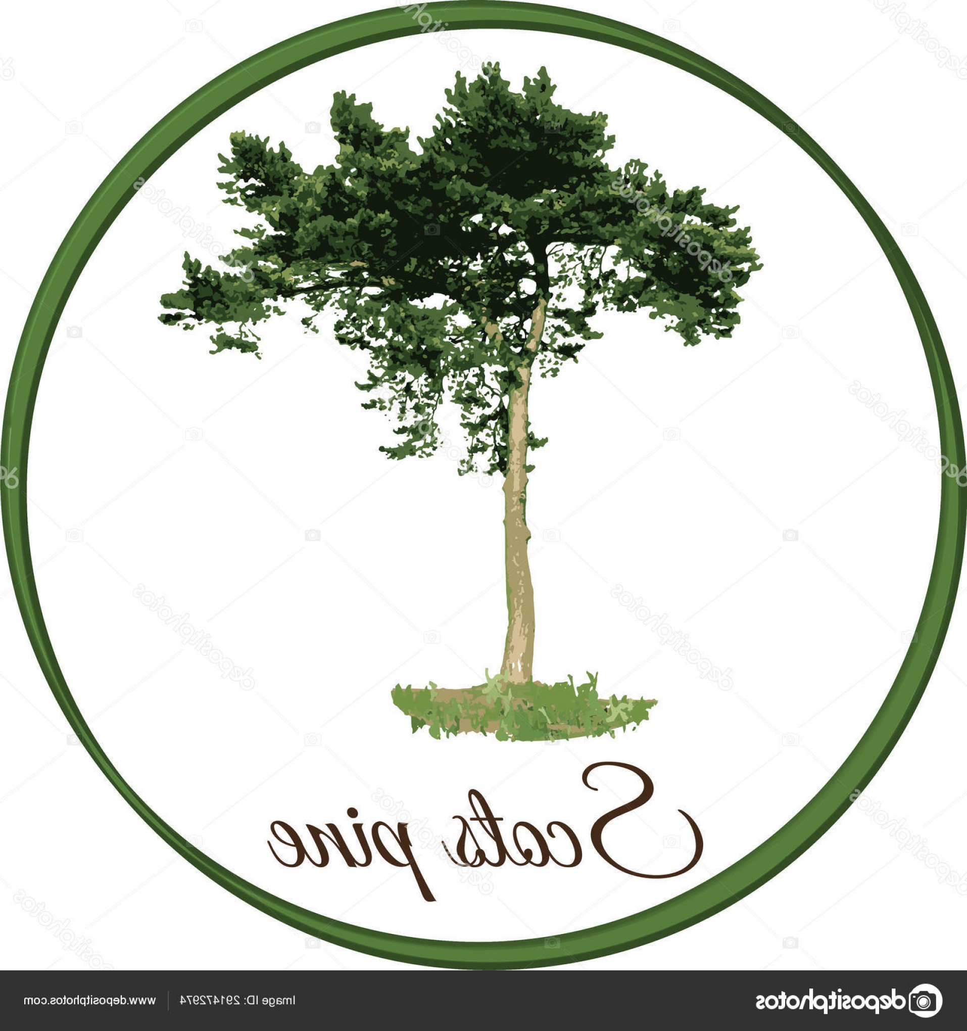 Pine Leaves Vector: Stock Illustration Scots Pine Tree As Vector