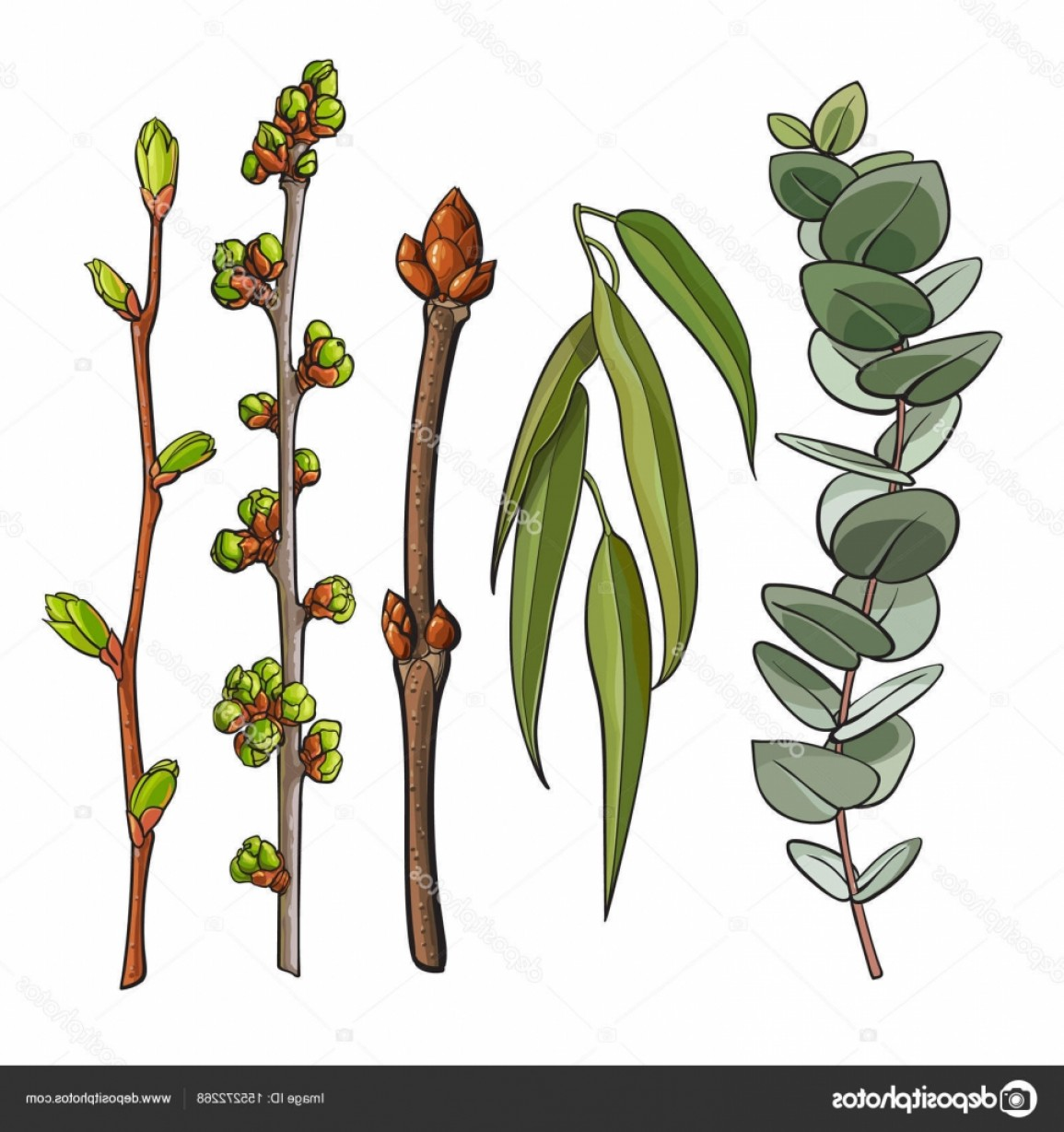 Vector Water Willow: Stock Illustration Spring Tree Twigs With Leaf