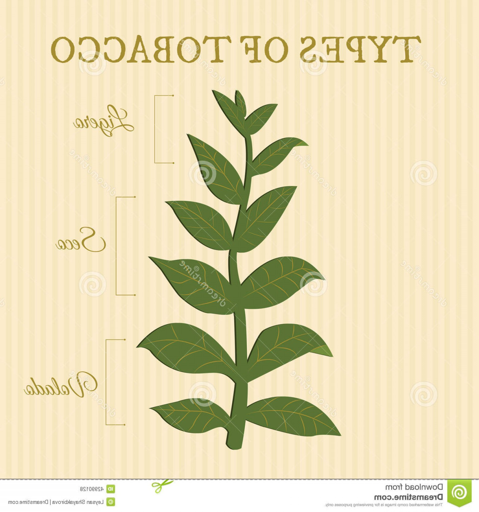 Loose- Leaf Tobacco Vector: Stock Illustration Types Tobacco Depending Position Leaves Plant Image