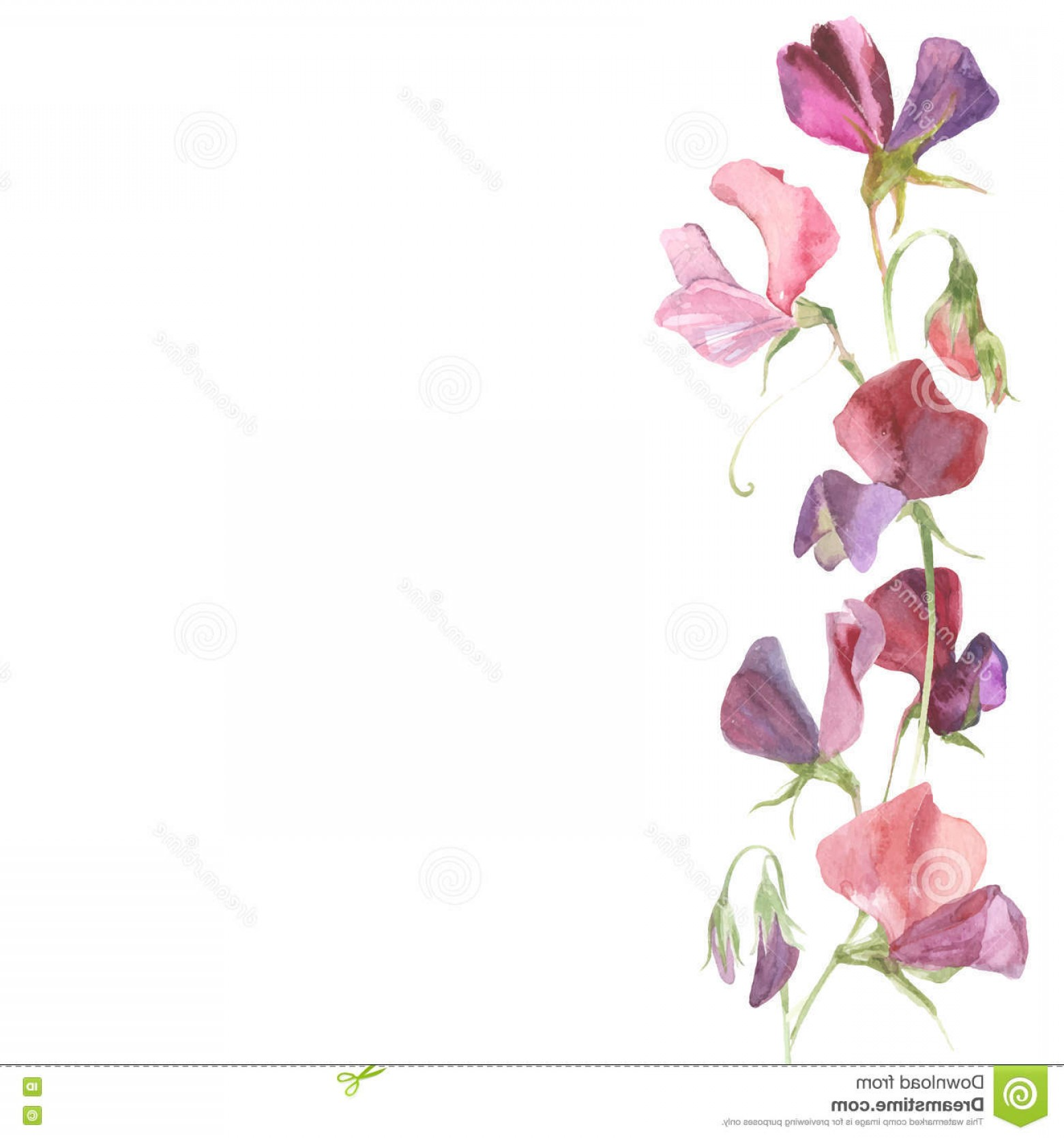 Vector Flower Band: Stock Illustration Vector Background Watercolor Flowers Sweet Pea Place Fo Band Image