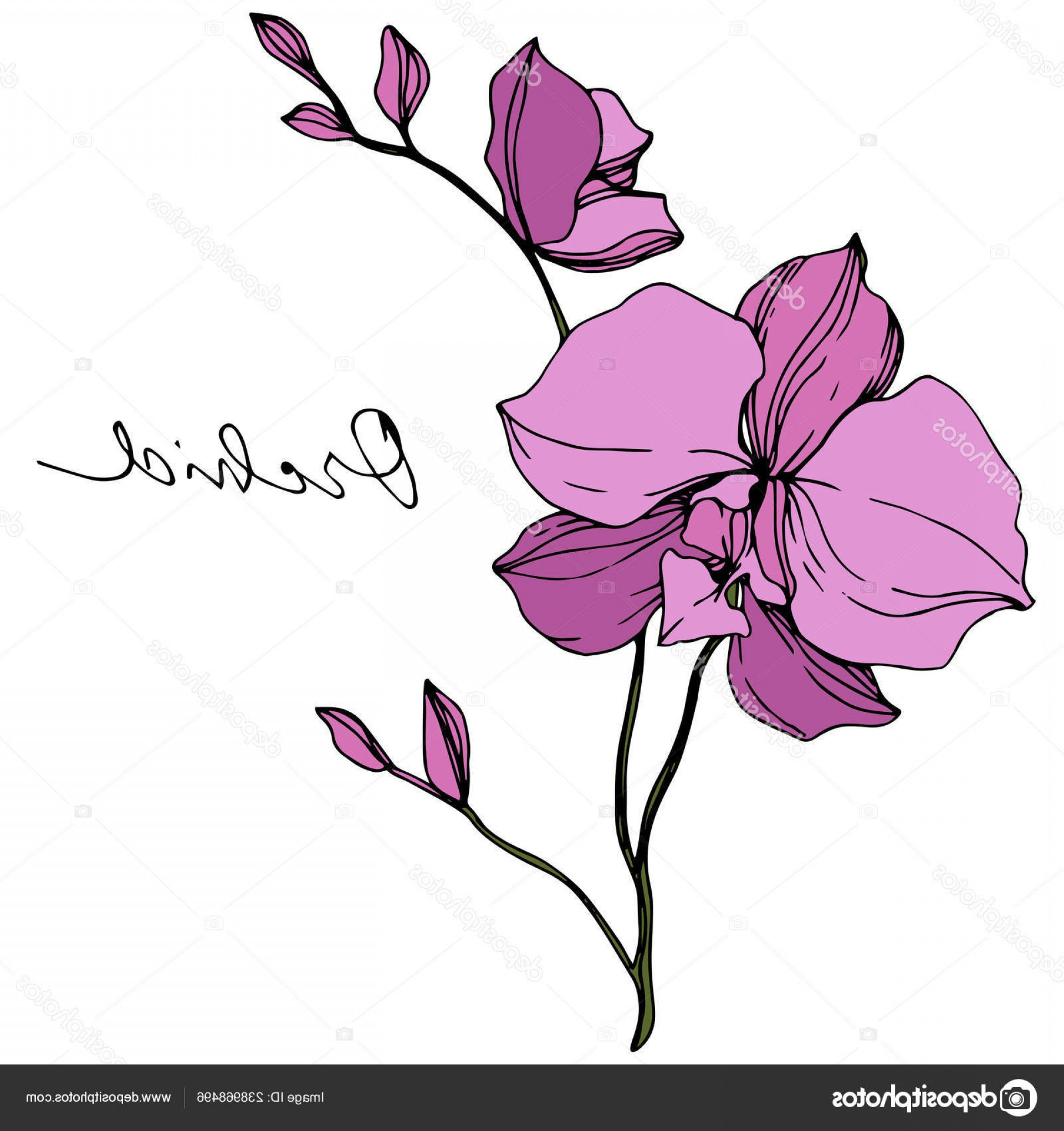 Purple Orchid Vector: Stock Illustration Vector Purple Orchids Isolated White