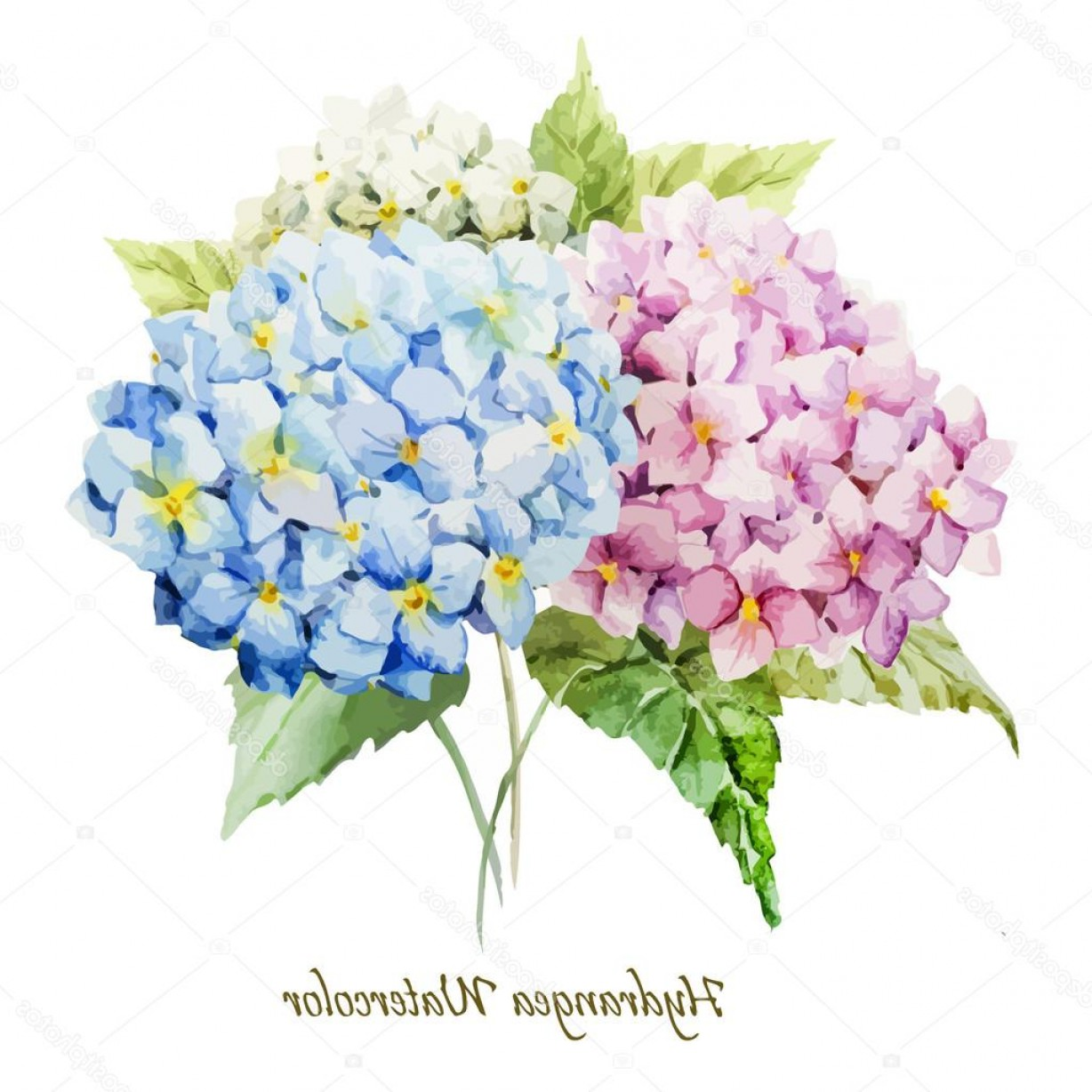 Hydrangea Vector Graphics: Stock Illustration Watercolor Hydrangea Flowers Bouquet