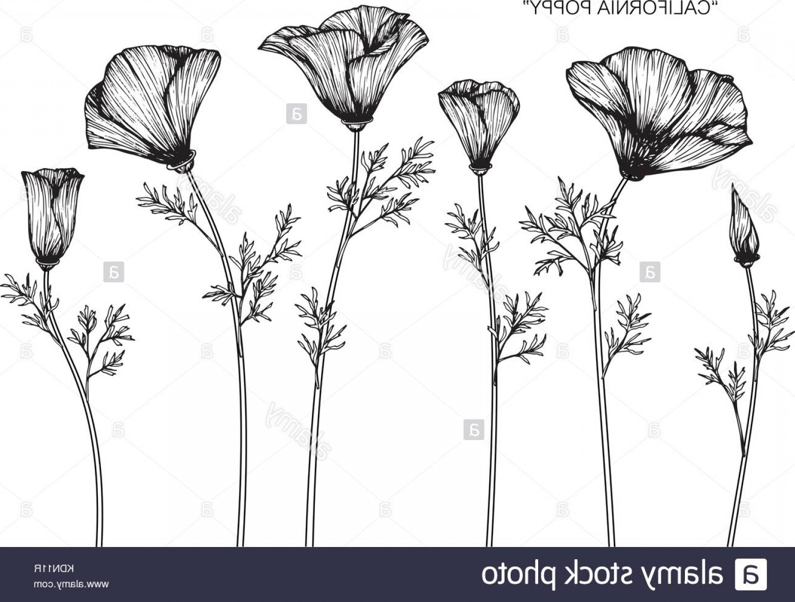 California Black And White Vector: Stock Image California Poppy Flower Drawing Illustration Black And White With