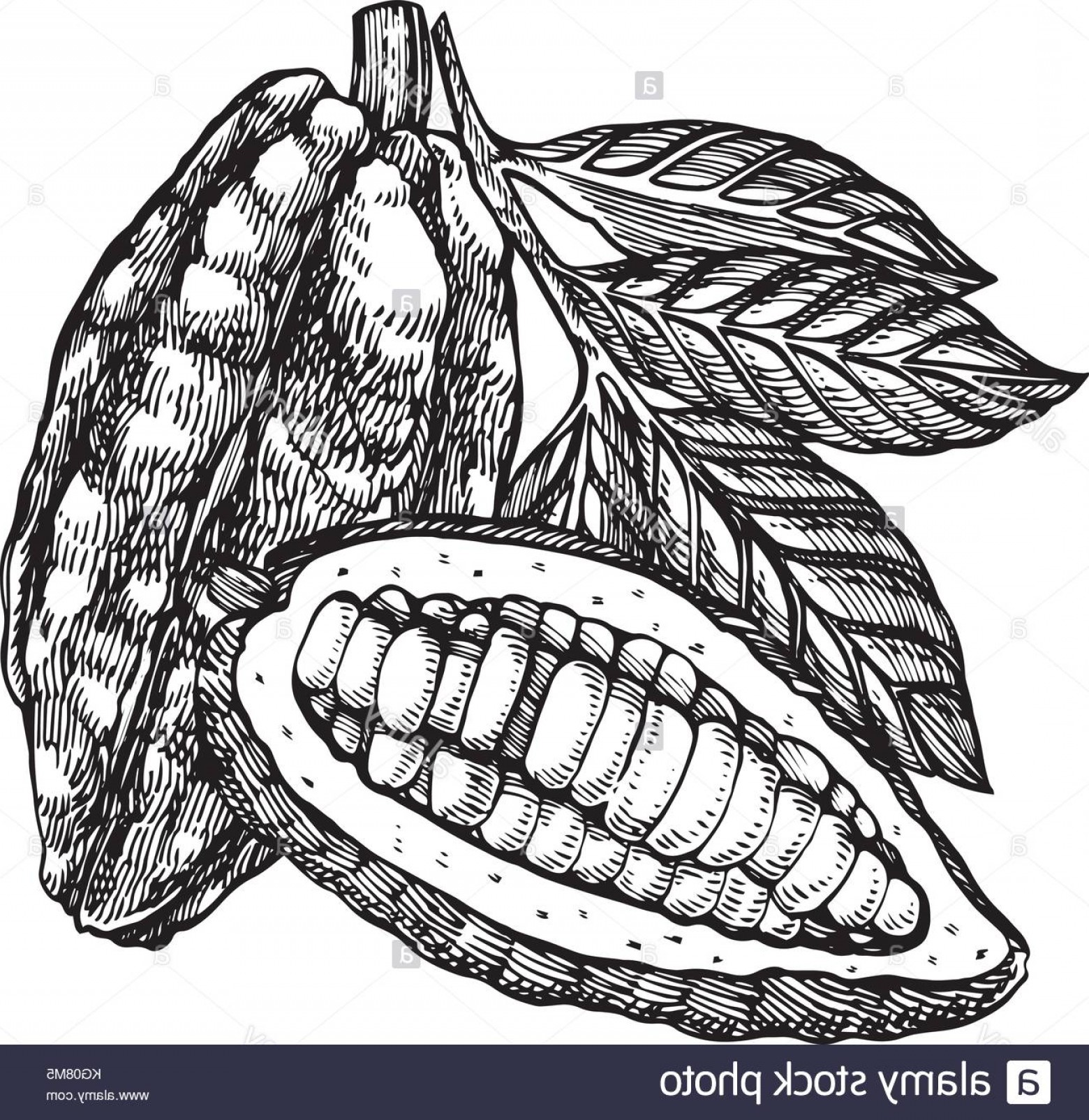 Chocolate Vector Plant: Stock Image Chocolate Cocoa Beans Vector Illustration Engraved Style Illustration
