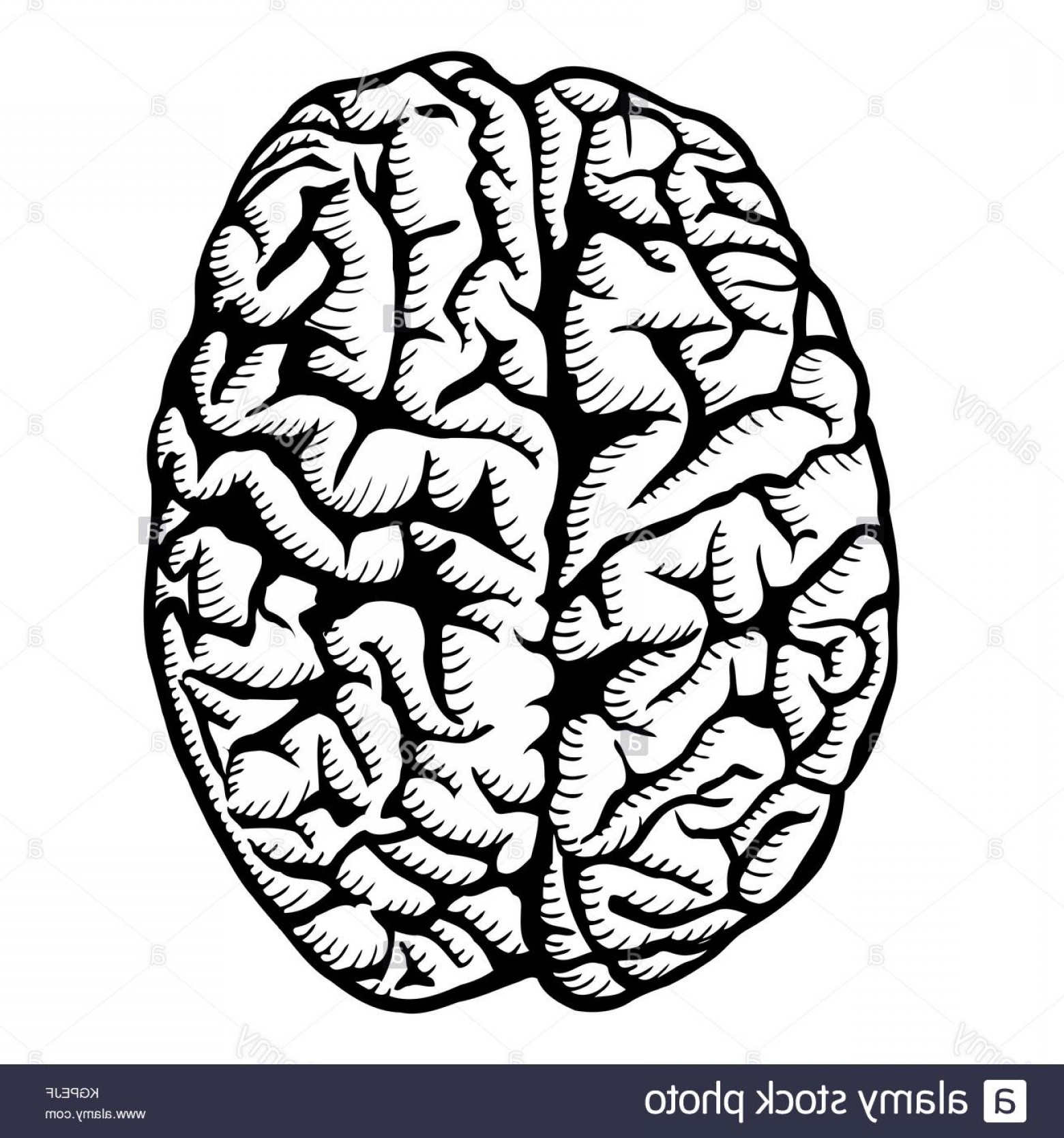 Brain Vector Art: Stock Image Human Brain Vector Illustration Isolated On White