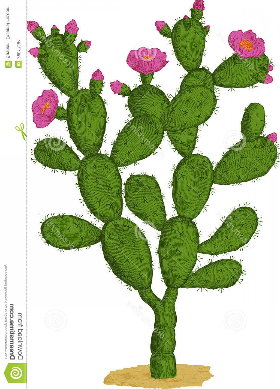 Cactus And Flower Vector: Stock Images Optunia Cactus Vector Image