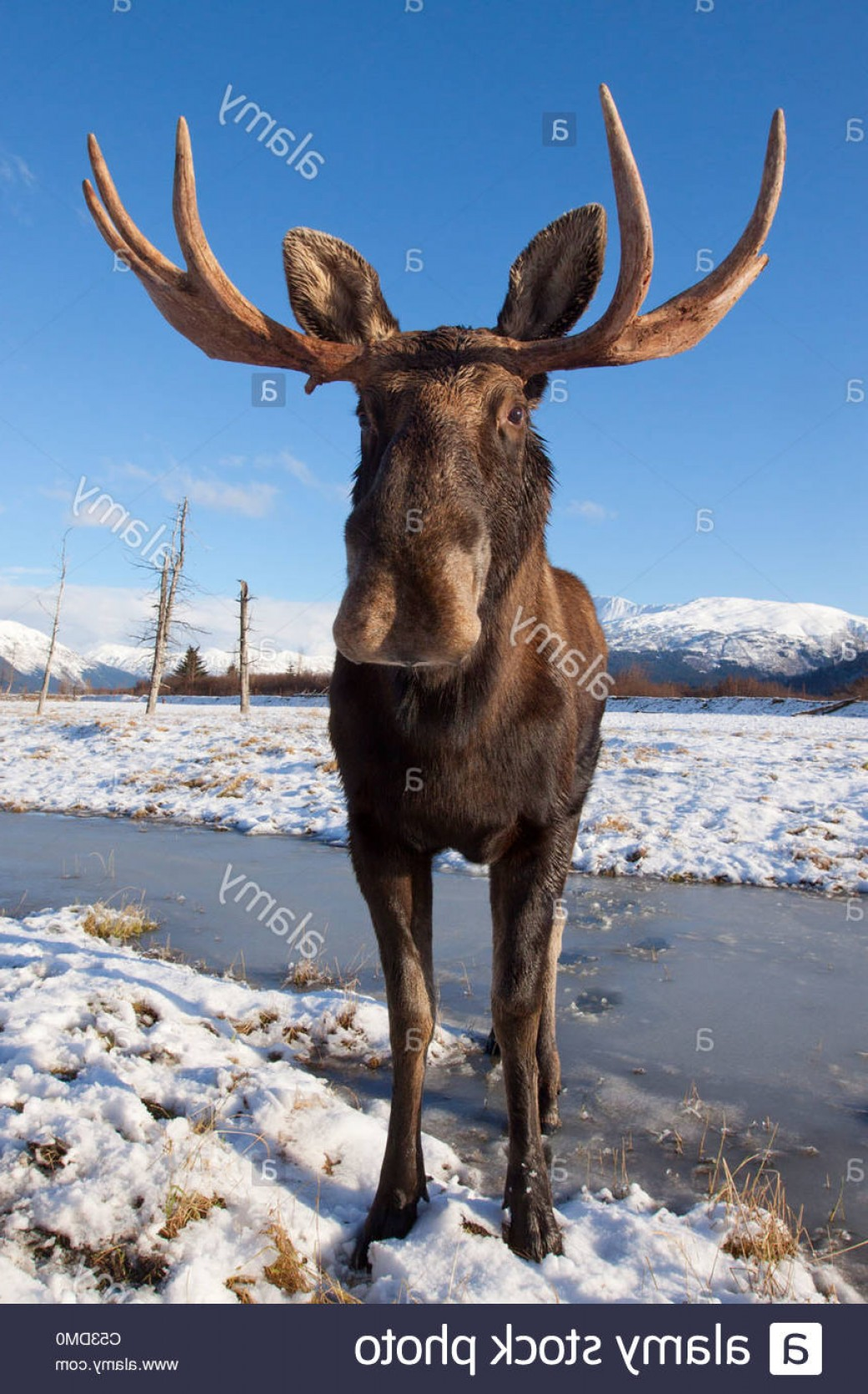 Alaska Moose Vectors: Stock Photo A Wide Angle View Of A Bull Moose Standing On Thin Snow At The Alaska