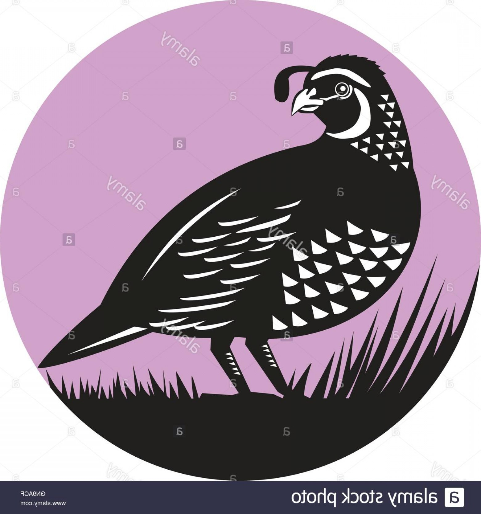 Quail Vector Art: Stock Photo California Valley Quail Bird Circle Retro