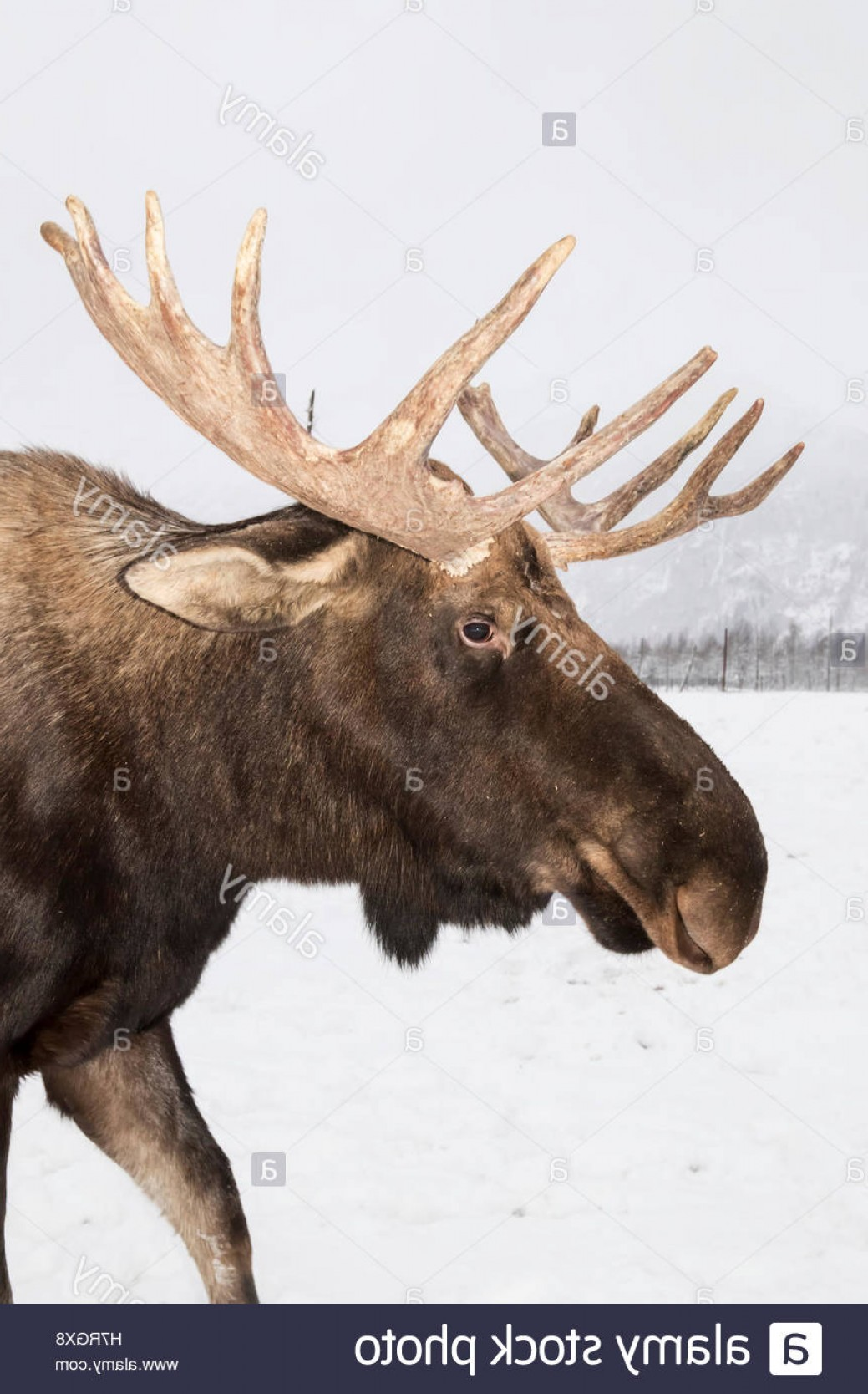 Alaska Moose Vectors: Stock Photo Captive Close Up Profile Of A Bull Moose With Antlers Alaska Wildlife