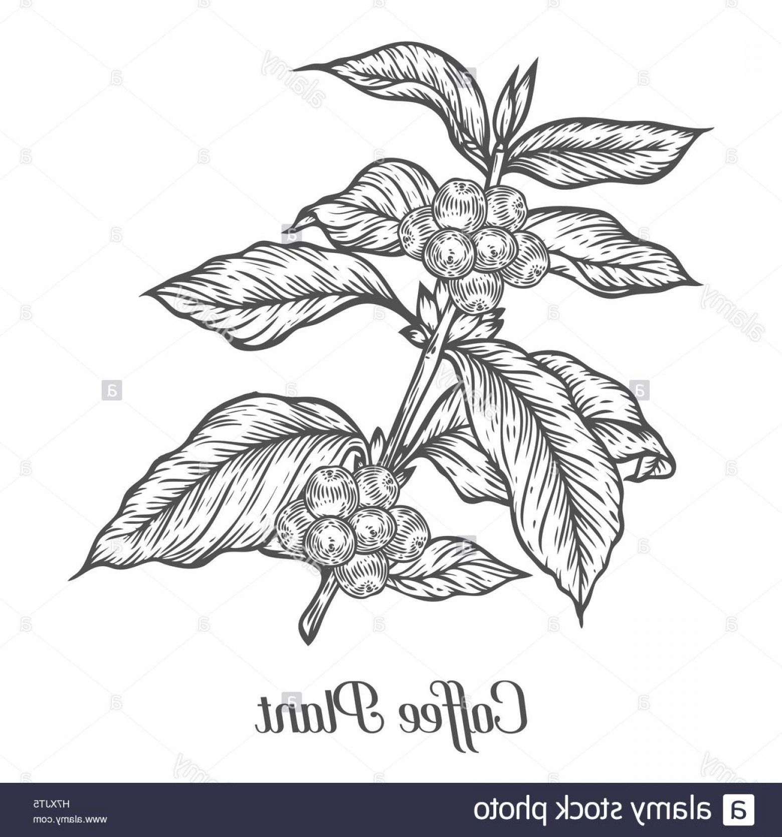 Coffee Tree Vector: Stock Photo Coffee Plant Branch With Leaf Berry Coffee Bean Fruit Seed Natural