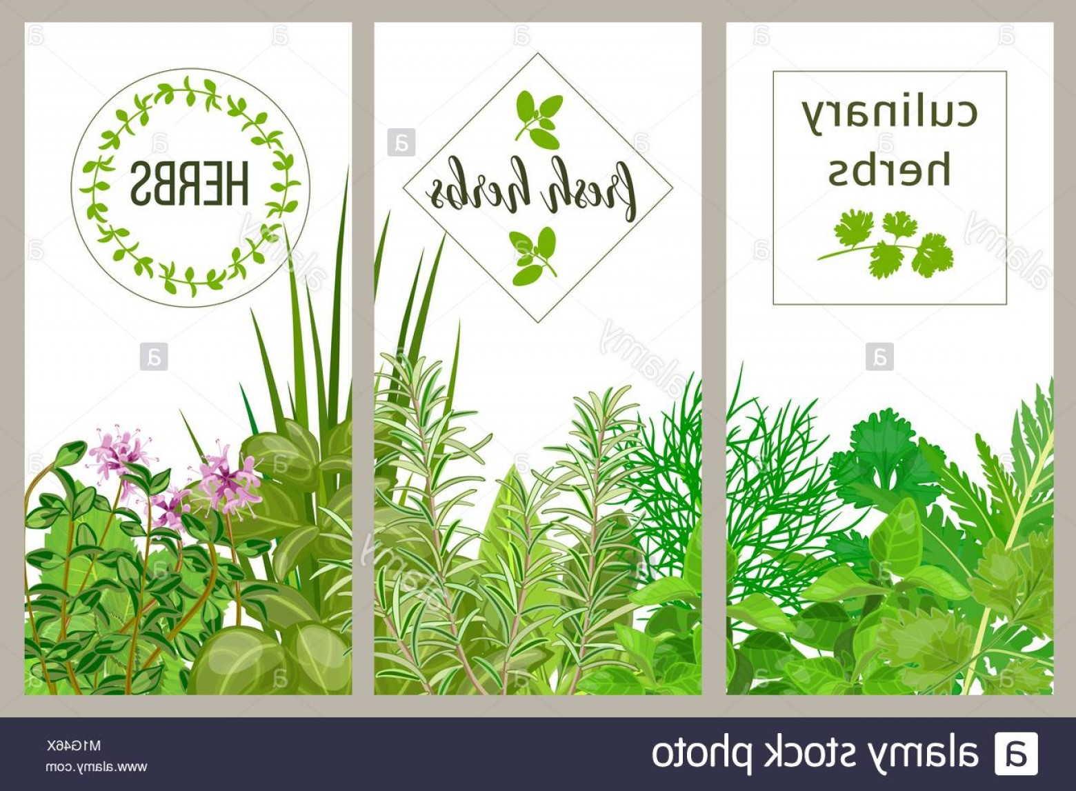 Basil Vector: Stock Photo Farm Fresh Cooking Herbs Set Of Culinary Cards Greenery Basil Vector