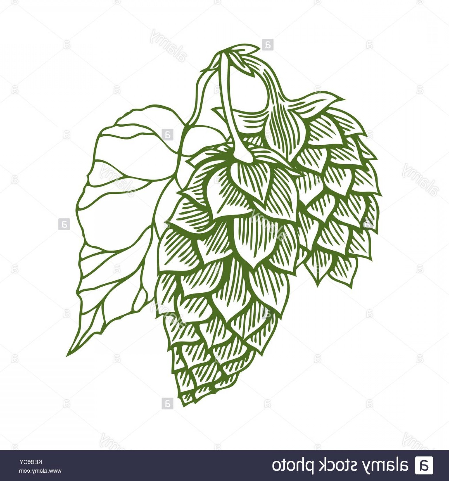 Beer Hops Vector: Stock Photo Hops Vector Visual Graphic Icon Or Logo Ideal For Beer Stout Ale Lager