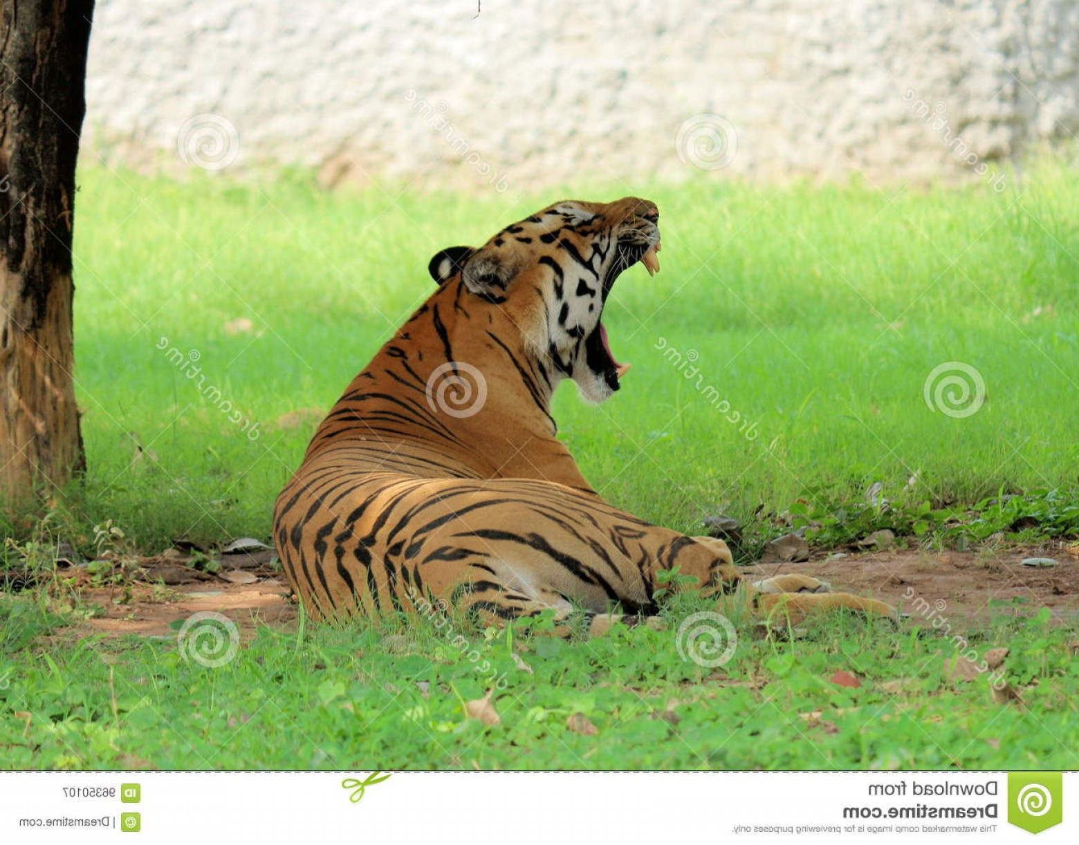 Full Body Tiger Roaring Vector: Stock Photo Royal Bengal Tiger Roar Resting Sleeping Sitting Critically Endangered Species Asian Chattbir Zoo Chandigarh India Image