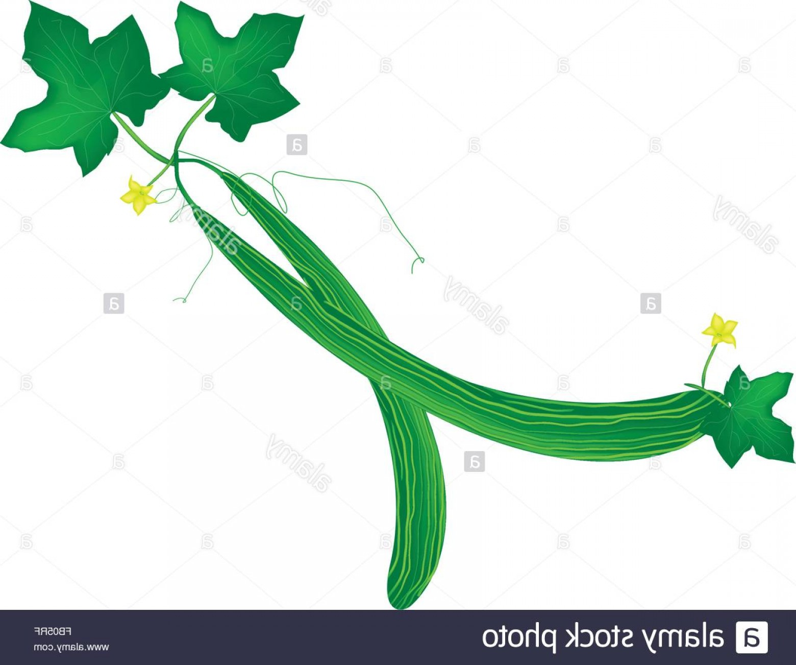 Vine Vector Graphics: Stock Photo Vegetable And Herb Vector Illustration Of Snake Cucumber Or Armenian