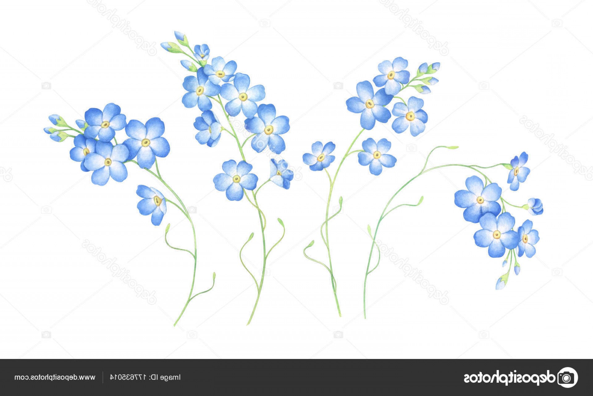 Get For Me Not Flower Watercolor Vector Art: Stock Photo Watercolor Set Of Forget Me