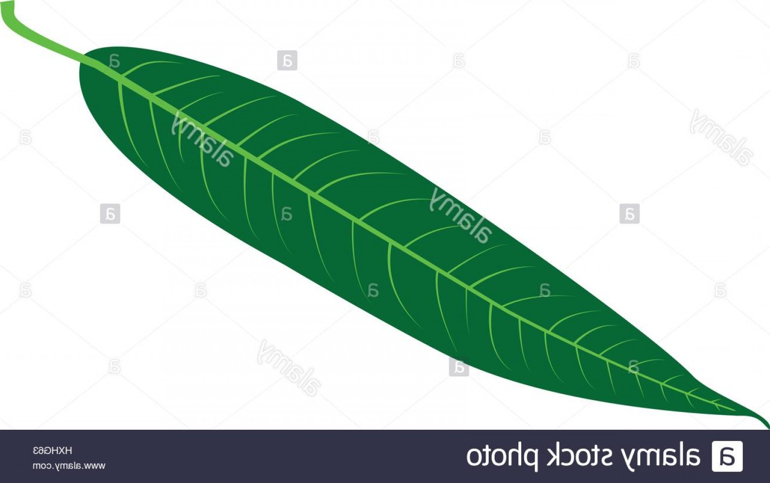 Vector Natural Willow: Stock Photo Willow Leaf Vector Illustration