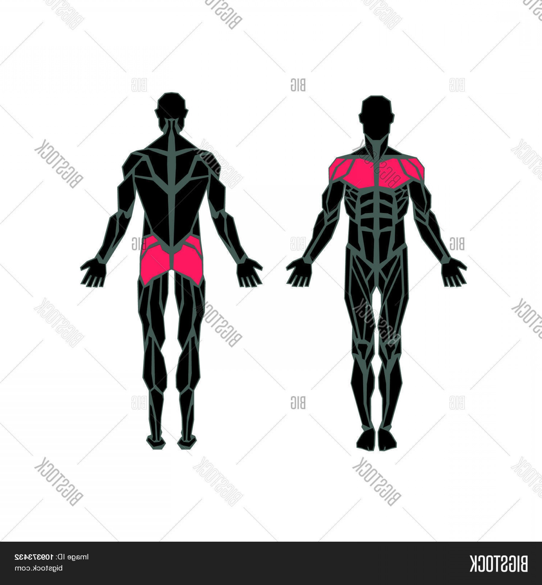 Male Silhouette Vector Art: Stock Vector Polygonal Anatomy Of Male Muscular Systemc Exercise And Muscle Guide Human Muscular Vector Artc Fro