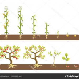 Corn Crop Vector: Stock Illustration Tomato Corn Maize Plant Growing