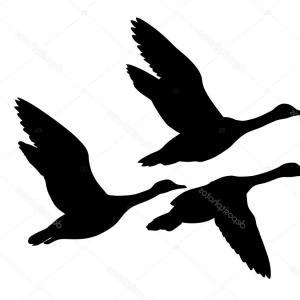 Flying Duck Outline Vector: Royalty Free Stock Images Ducks Black Silhouettes White Background Image
