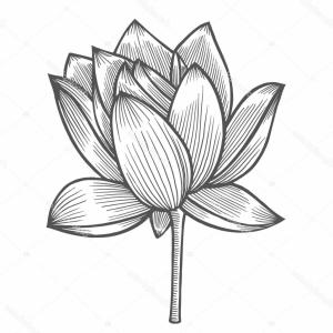 Lily Vector Art: Stock Illustration Water Lily Flower Illustration