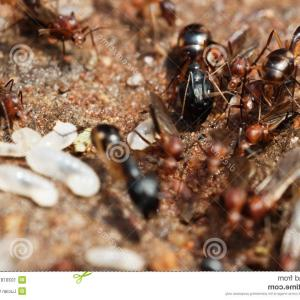 Termites With Wings Vector: Stock Photo Brown Winged Termite Alate Isolated White Background Image