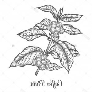 Coffee Tree Vector: Antique Illustration Of Coffee Tree Gm