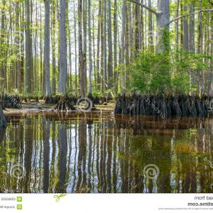 Bald Cypress Tree Vector: Stock Photo River Cypress Bald Trees Chickahominy Located West Williamsburg Virginia Image