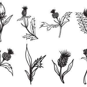 Thistle Vector Illustration: Stock Vector Hand Drawing Of Thistle Isolated On White Background Black And White Simple Line Vector Illustration For Coloring Book Line Drawn Vector