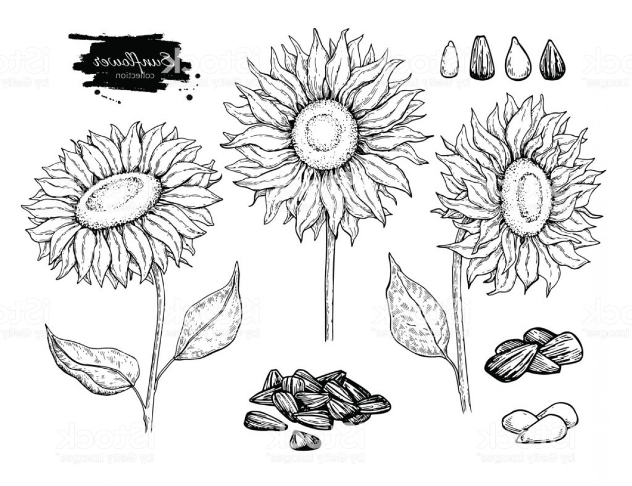 Seed Flower Vectors: Sunflower Seed And Flower Vector Drawing Set Hand Drawn Isolated Illustration Food Gm