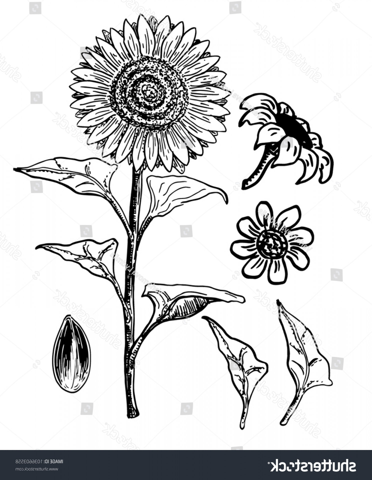 Seed Flower Vectors: Sunflower Seed Flower Vector Drawing Set