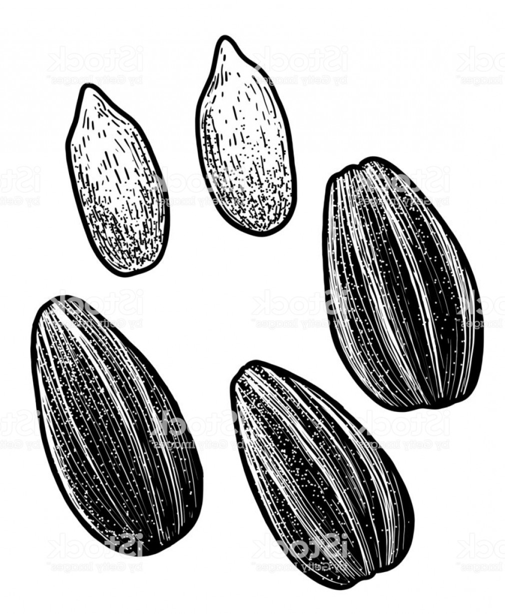 Vector Black And White Sunflower Seed: Sunflower Seed Illustration Drawing Engraving Ink Line Art Vector Gm