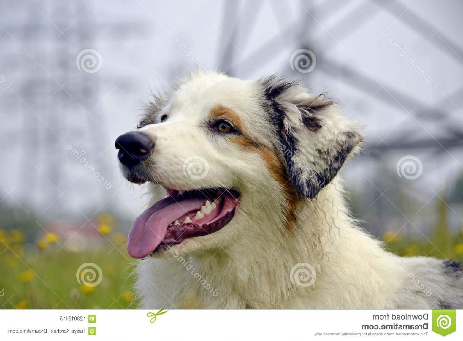 Australian Shepherd Walking Vector: Sunstroke Health Pets Summer Young Australian Shepherd Dog Aussie How To Protect Your Dog Overheating Training Image