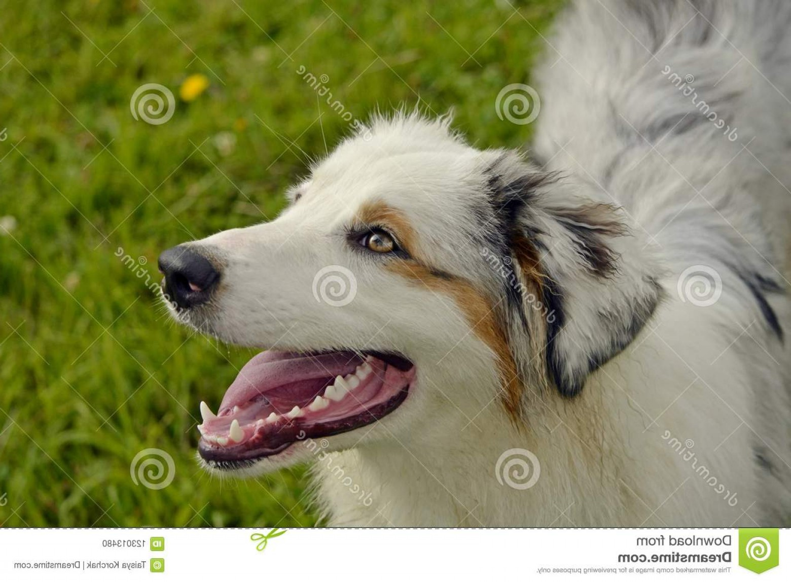 Australian Shepherd Walking Vector: Sunstroke Health Pets Summer Young Australian Shepherd Dog Aussie How To Protect Your Overheating Training Dogs Image