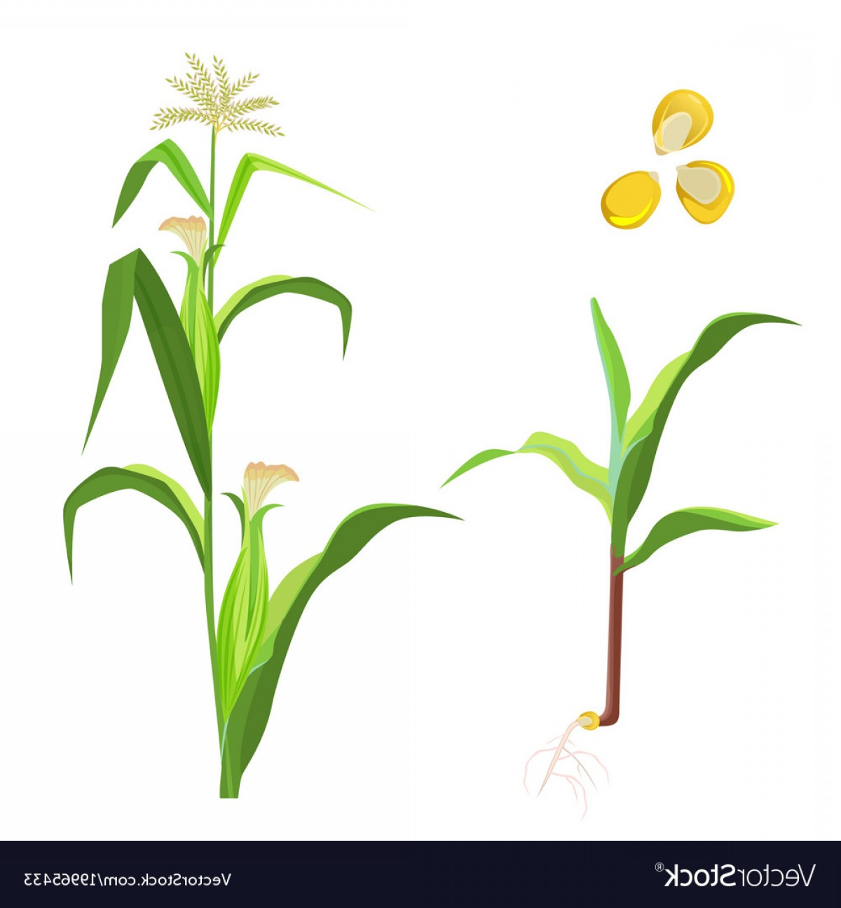 Maize Vector Tree: Sweet Corn Flowering Plant And Seeds Vector