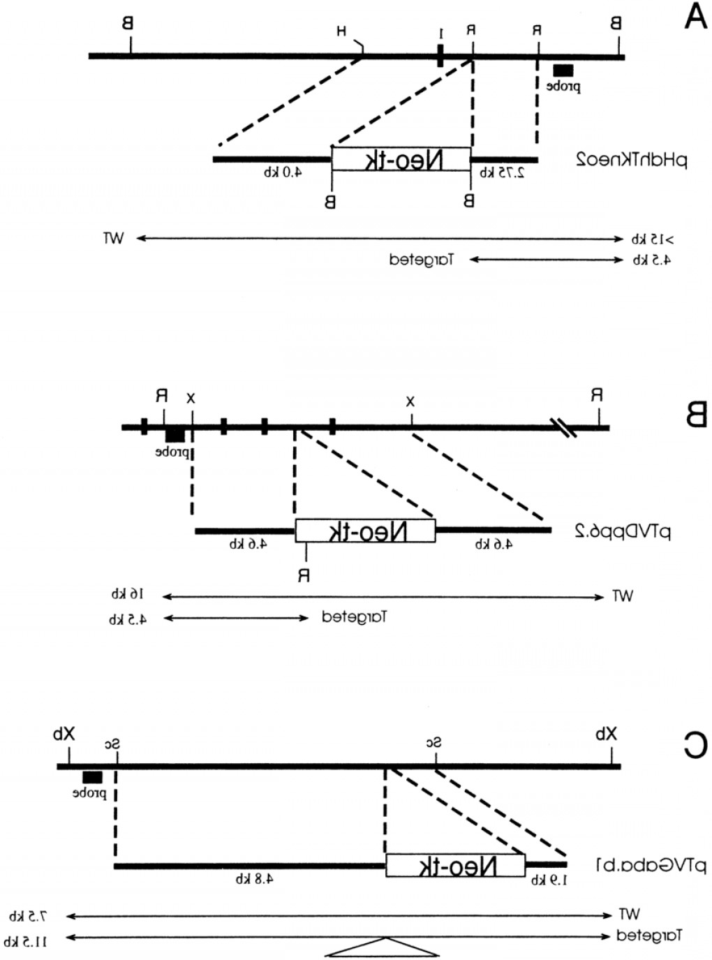 1-1 Vector: Targeting Vectors A Hdh Targeting Vector Transcriptional Orientation Of The Gene Isfig