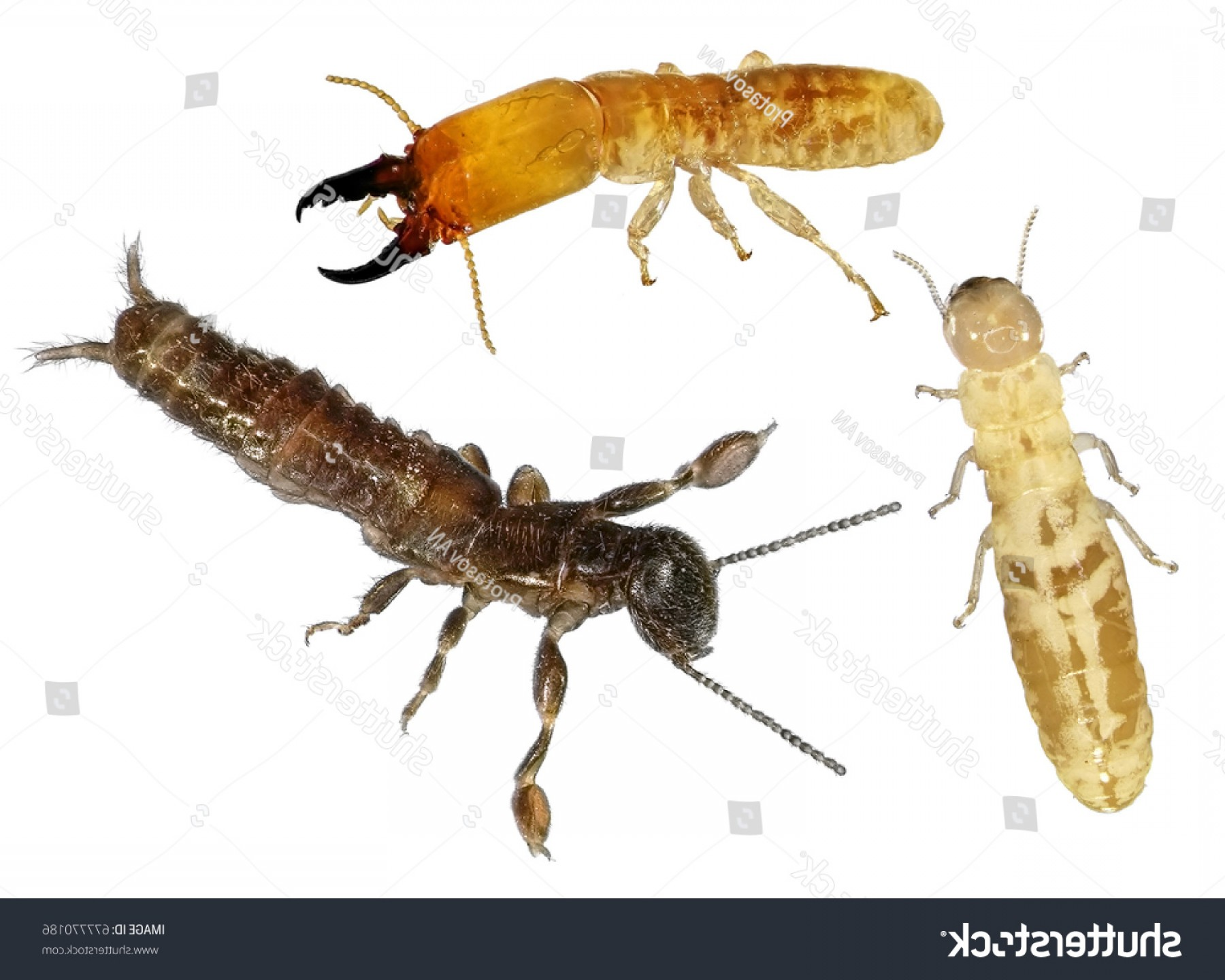Termites With Wings Vector: Termites Worker Soldier Reproductive Alter Loss