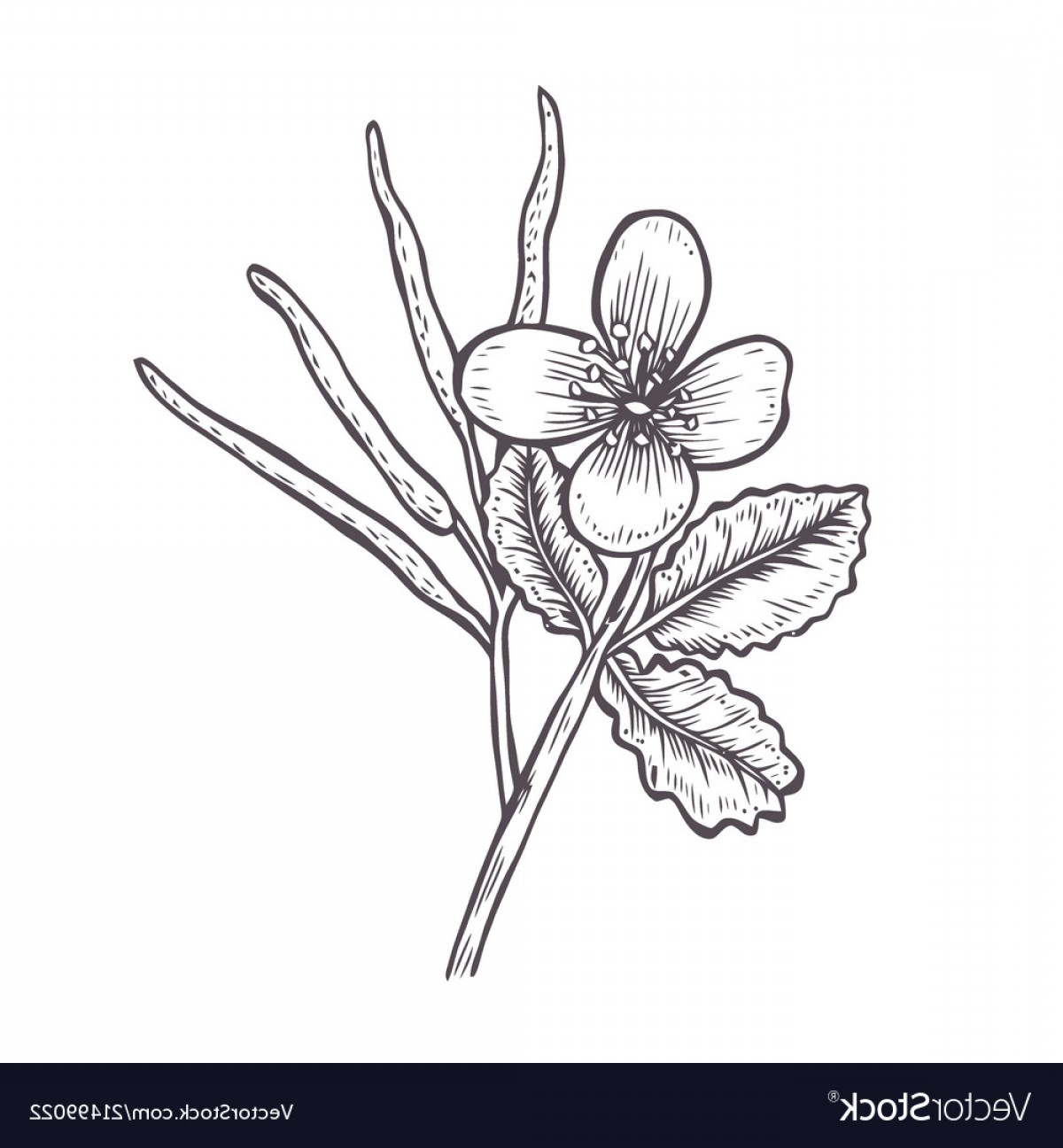 Seed Flower Vectors: Tetterwort Plant Showing Flowers And Seed Pod Vector